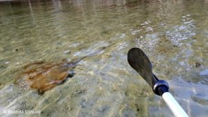 Sting Ray when out paddling