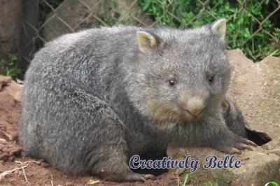 Australian wombat in Tasmania