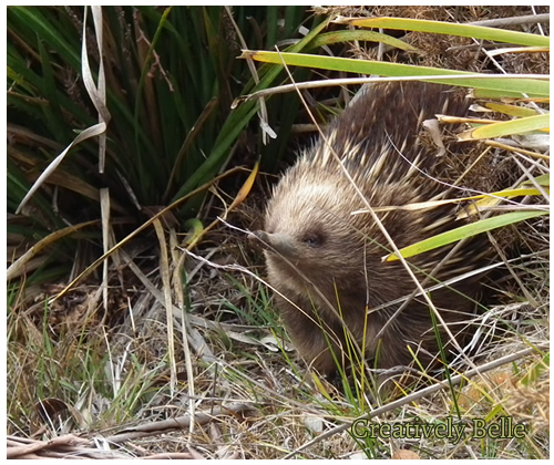 Going exploring in Tasmania and you'll find an echidna on the march