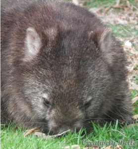 A hungry wombat digging into lunch