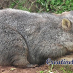 Sleeping baby wombat by Belinda