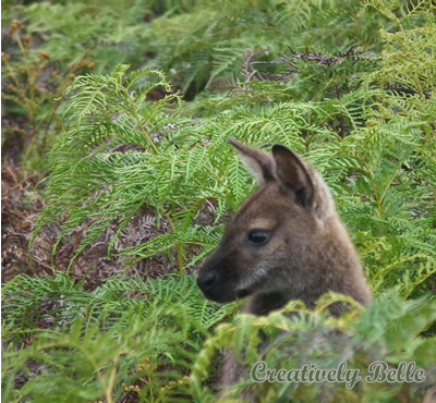 Wallaby in the bracken