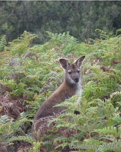 A Watching Wallaby at Narawntapu National Park