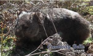 A beautiful Tasmanian wombat in the wild