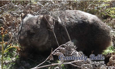 A beautiful Tasmanian wombat in the wild